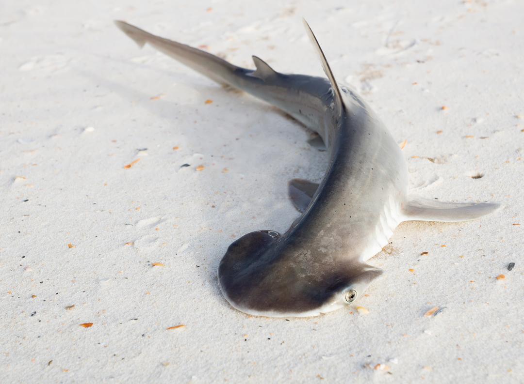 Hiu Bonnetheads yang dikenal sebagai hiu kepala sekop. (dok.save our seas foundation)