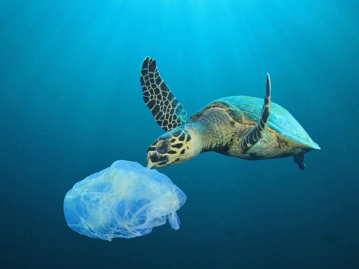 Penyu mengira plastik sebagai ubur-ubur dan memakannya. (photo: dok. beautyjournal)