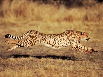 Ternyata Bukan Cheetah yang Tercepat di Dunia 12