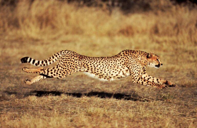 Ternyata Bukan Cheetah yang Tercepat di Dunia 1