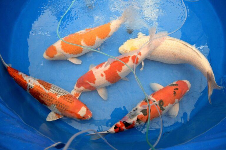 Ikan Terindah di Dunia, Bisa di Lelang Milyaran Rupiah 1