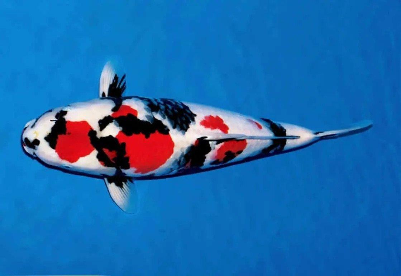 Ikan Terindah di Dunia, Bisa di Lelang Milyaran Rupiah 3