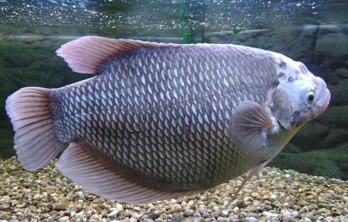Jenis Ikan Gurameh Yang Sering Dikenal 3