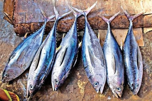 6 Jenis Ikan Laut Yang Sering ditemui Nelayan Indonesia 4