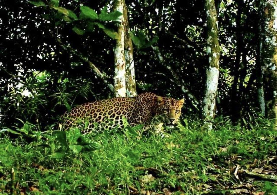 Fenomena Macan Tutul di Lereng Gunung Merapi 4