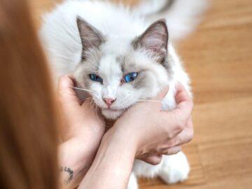 Beberapa Mitos dan Fakta Tentang Kucing Yang Ada Di Masyarakat 3