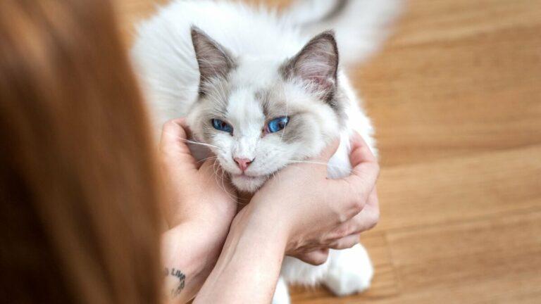 Beberapa Mitos dan Fakta Tentang Kucing Yang Ada Di Masyarakat 1