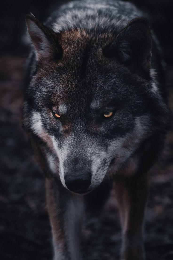 Alasan Mengapa Serigala Tidak Ada Dalam Pertunjukan Sirkus 7