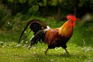 Tidak Ahli Terbang, Ini Bakat Lain dari Sayap Ayam 11