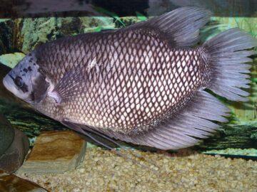 Jenis Ikan Gurameh Yang Sering Dikenal 15