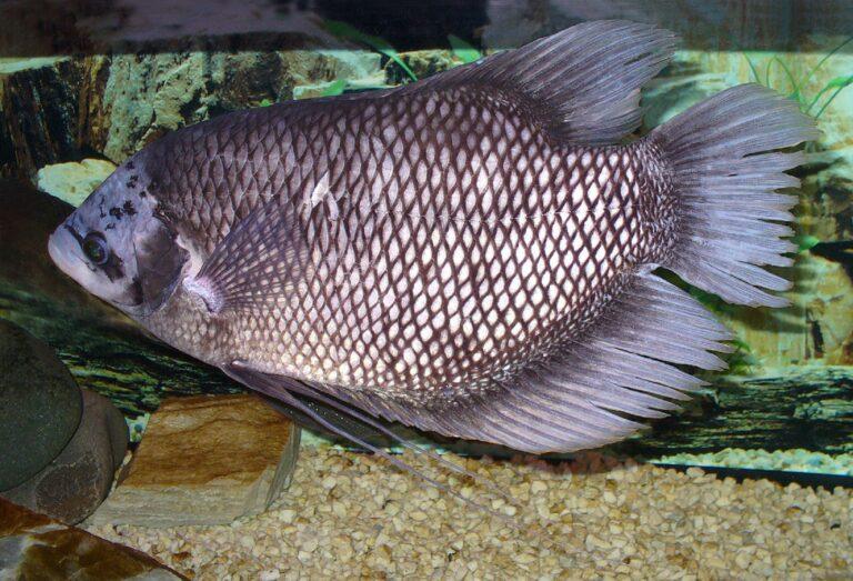 Jenis Ikan Gurameh Yang Sering Dikenal 1