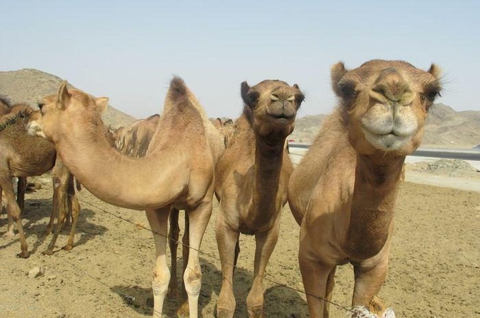 Hewan yang sering dijumpai di gurun ini ternyata bisa makan kaktus, loh!