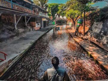 Potret Watergong Klaten Sungai Jernih Dengan Sejuta Ikan Nila 8
