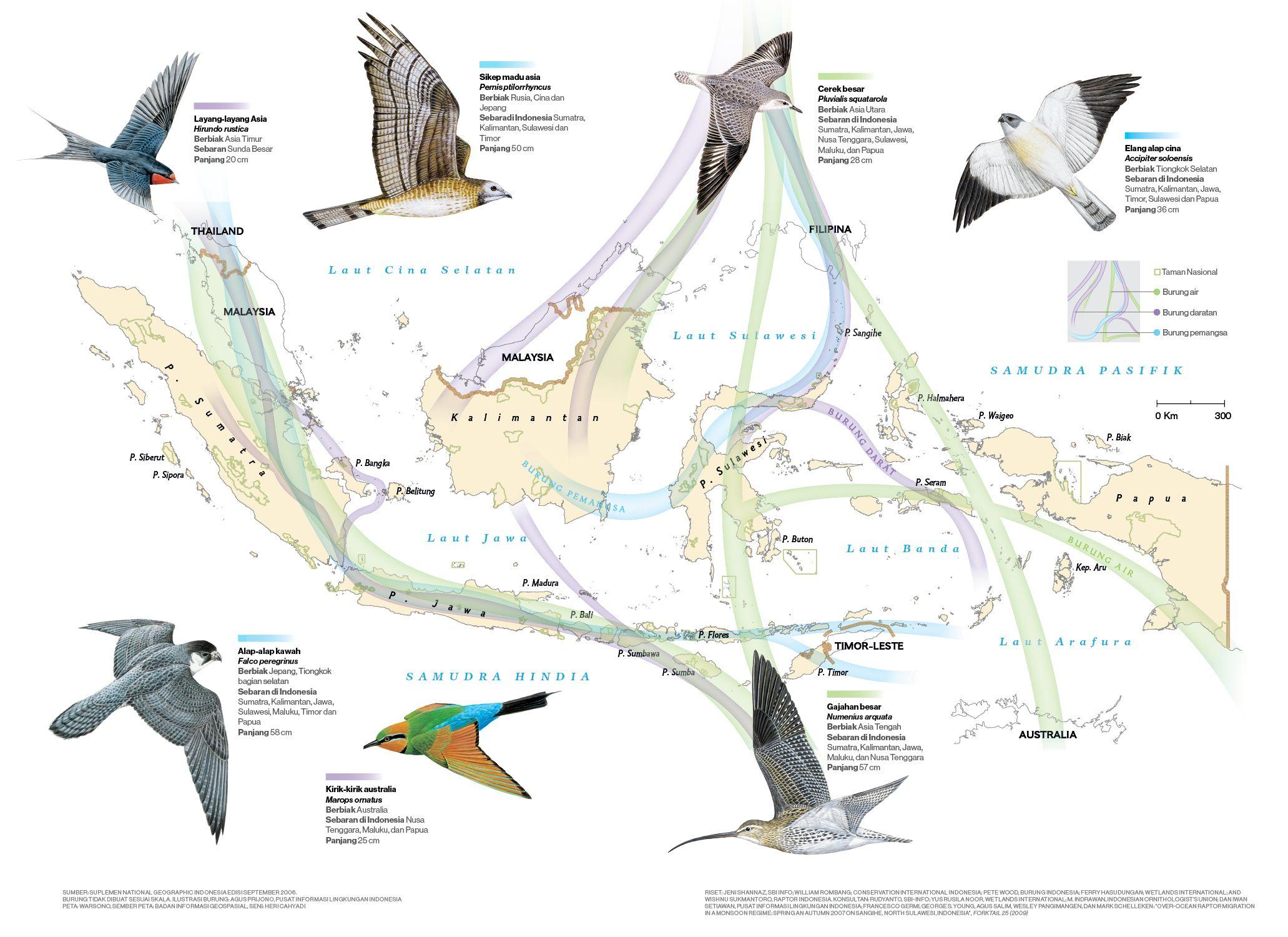Sebaran jalur migrasi burung di Indonesia