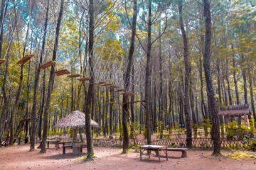 Wisata Pohon Pinus Hits di Banyuwangi 12