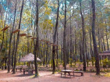 Wisata Pohon Pinus Hits di Banyuwangi 9