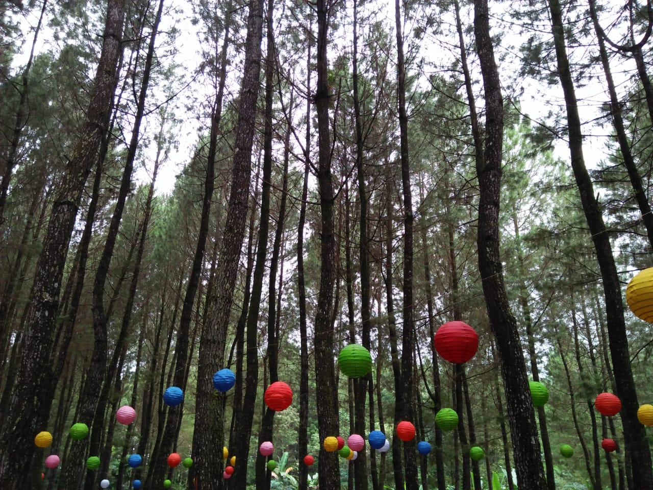 Wisata Pohon Pinus Banyuwangi. Foto: Gita Welastiningtias