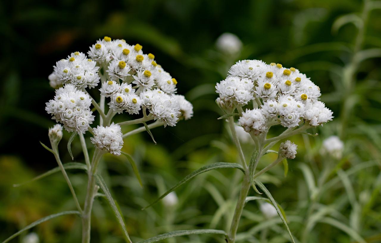 Fakta Menarik Edelweiss, dan Mengapa Disebut Bunga Abadi 3