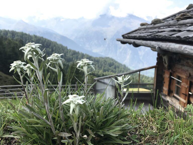 Fakta Menarik Edelweiss, dan Mengapa Disebut Bunga Abadi 1