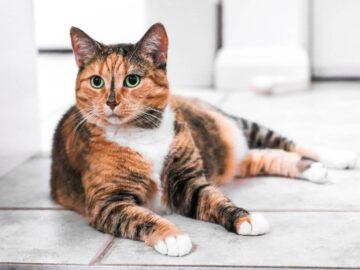 Kucing Kamu Beneran Tuli Atau Pura-pura Tuli? Jangan Sampai Tertipu 8