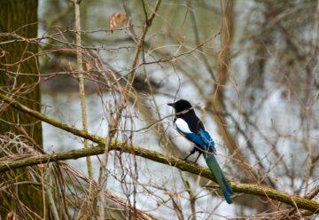 Tips Pemeliharaan Burung Murai Sehat dan Kicau Indah 2