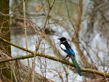 Tips Pemeliharaan Burung Murai Sehat dan Kicau Indah 3