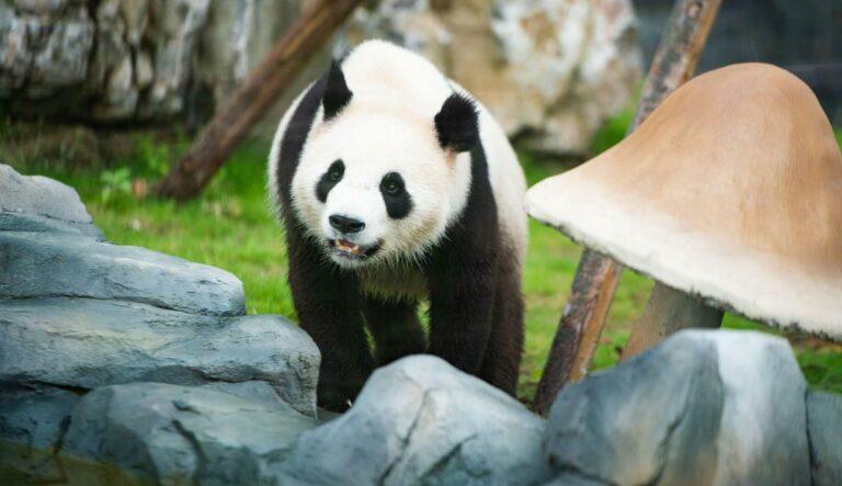 Fakta Unik Panda Yang Mungkin Belum Kamu Tahu! 1